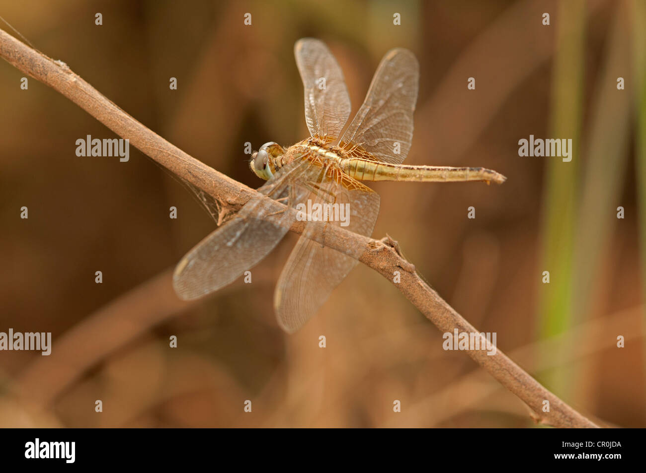 Scarlet skimmer, crimson darter (Crocothemis servilia), female, Battambang, Cambodia, Southeast Asia, Asia - Stock Image