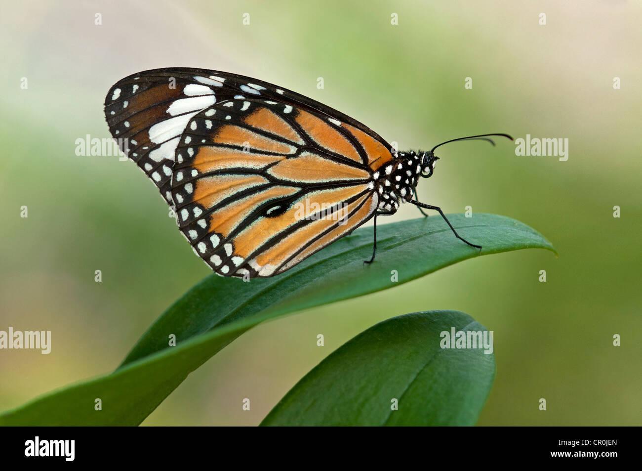 Monarch Butterfly (Danaus plexippus), Phuket, Thailand, Asia - Stock Image