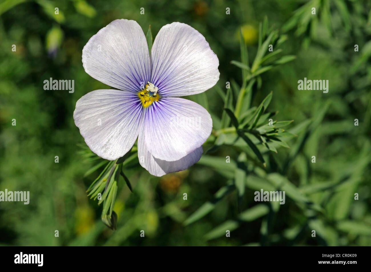Austrian Flax (Linum austriacum), Mediterranean - Stock Image