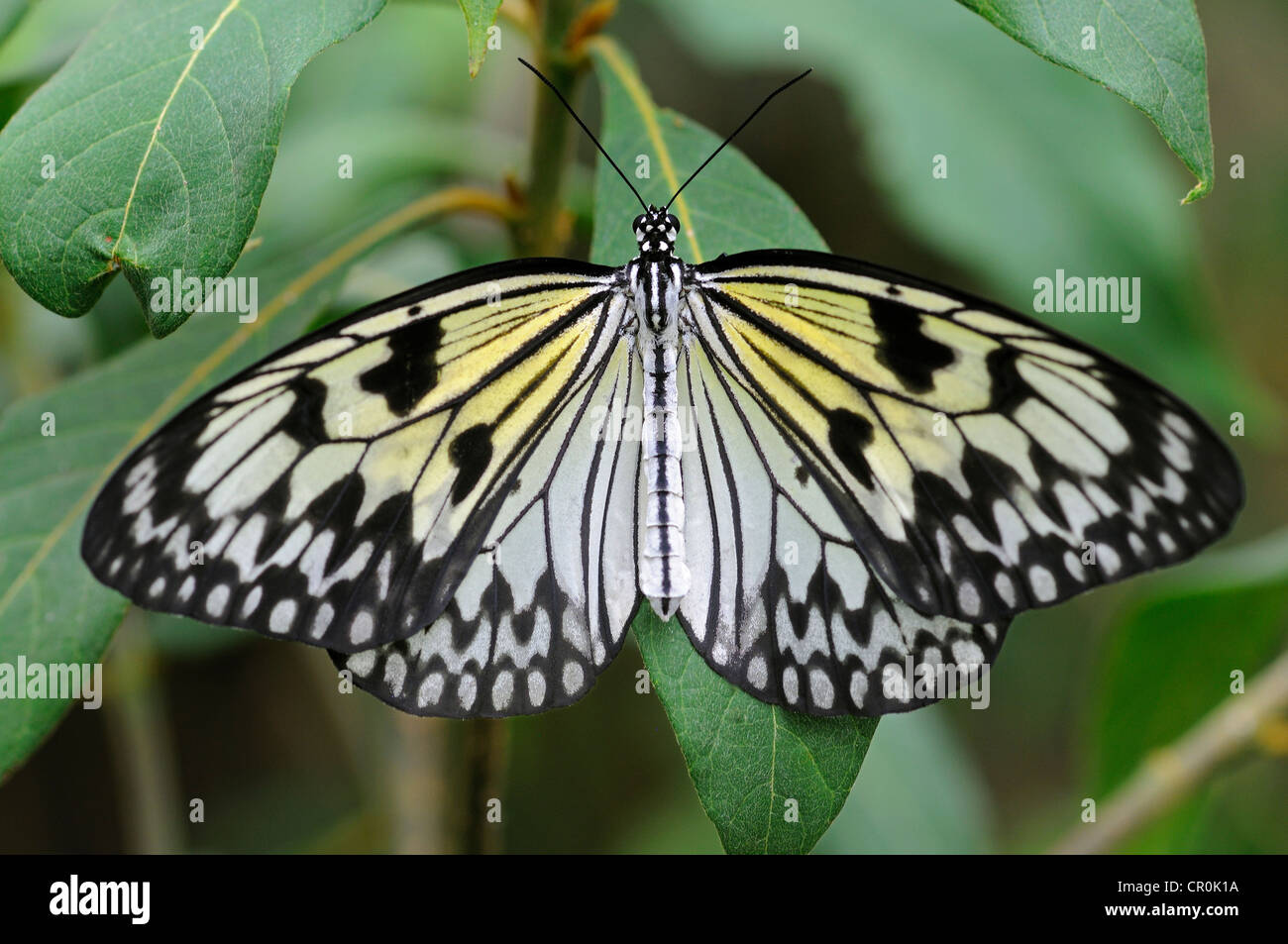 Paper Kite or Large Tree Nymph (Idea leuconoe), tropical butterfly, Asia Stock Photo