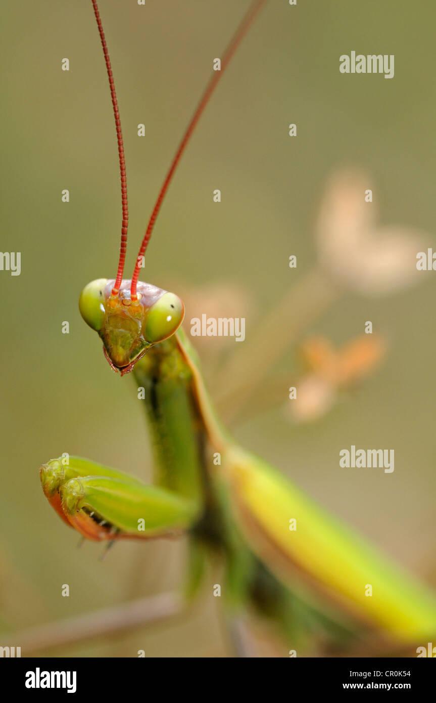 European Mantis or Praying Mantis (Mantis religiosa), Alsace, France, Europe Stock Photo