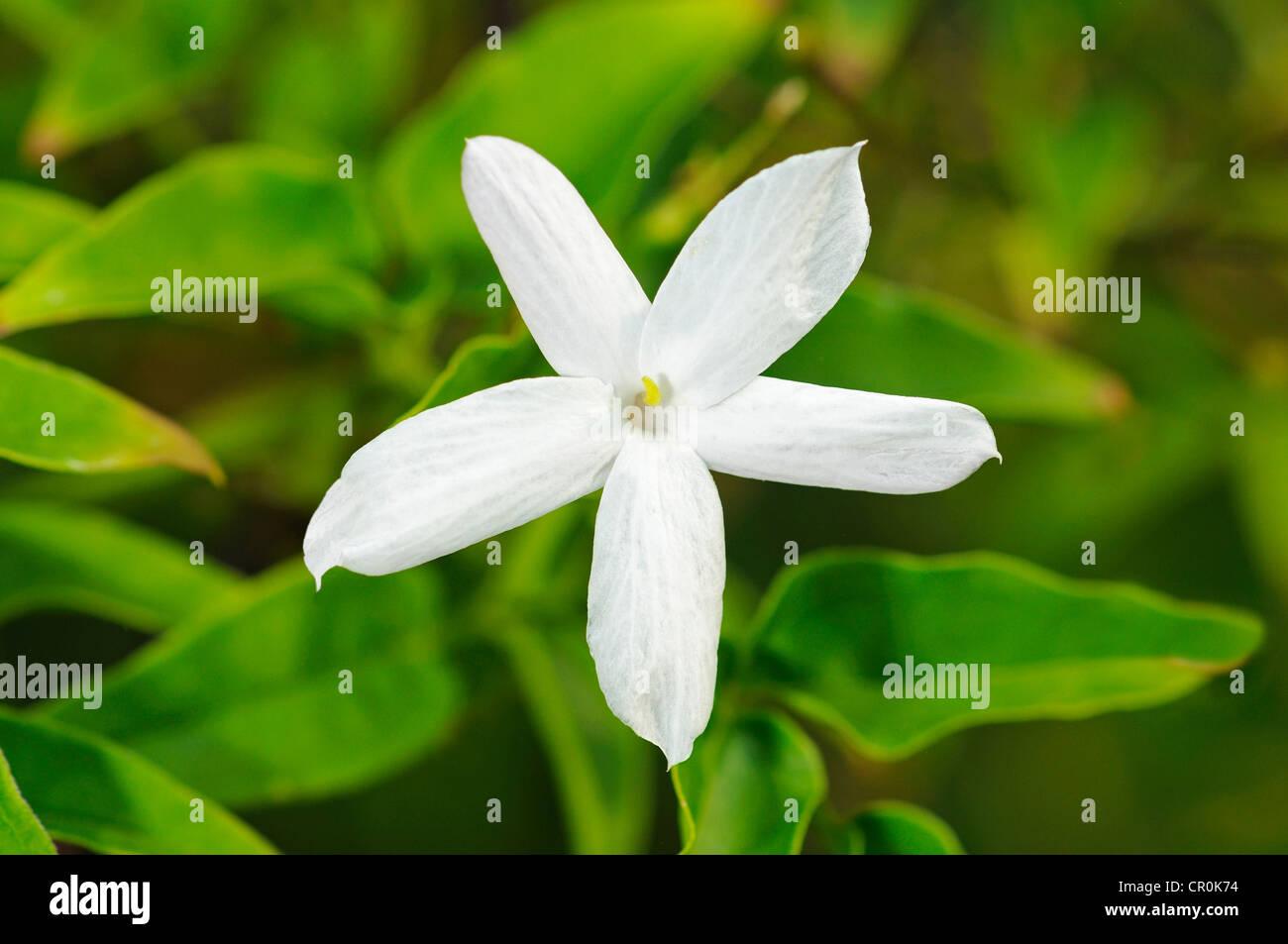 Common Jasmine (Jasminum officinale), flowering - Stock Image