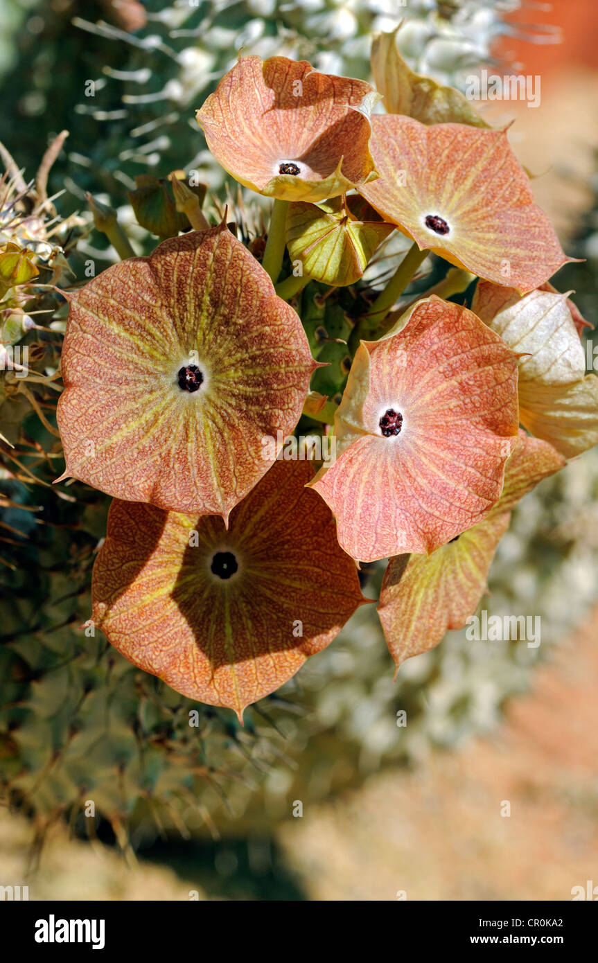 Flowers of Hoodia juttae, Succulent nursery Vanrhynsdorp, Western Cape, South Africa, Africa - Stock Image