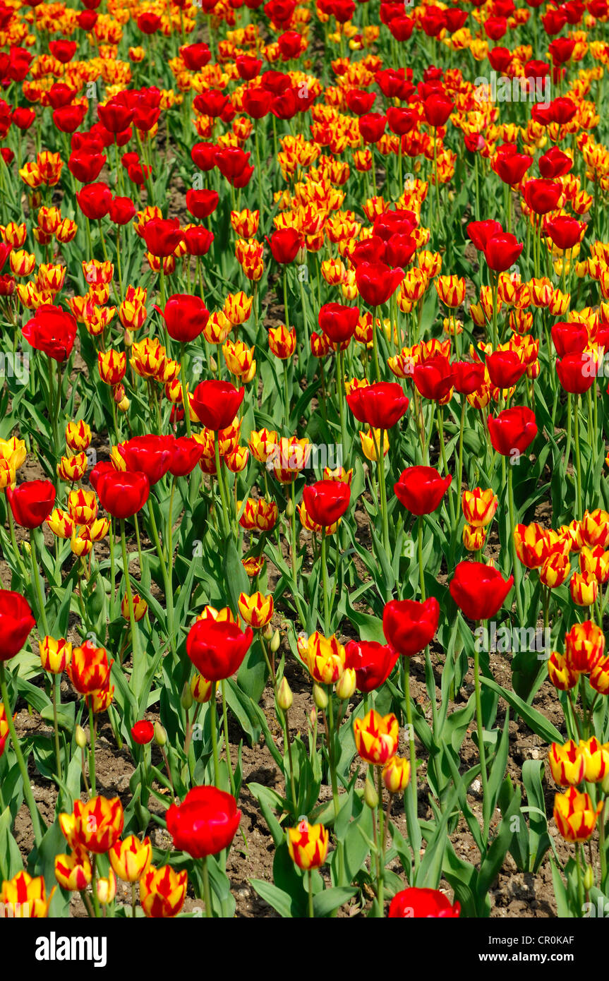 Flower bed with tulips of the Red Gorgette and Colour Spectacle varieties, Dutch tulips (Tulipa) - Stock Image