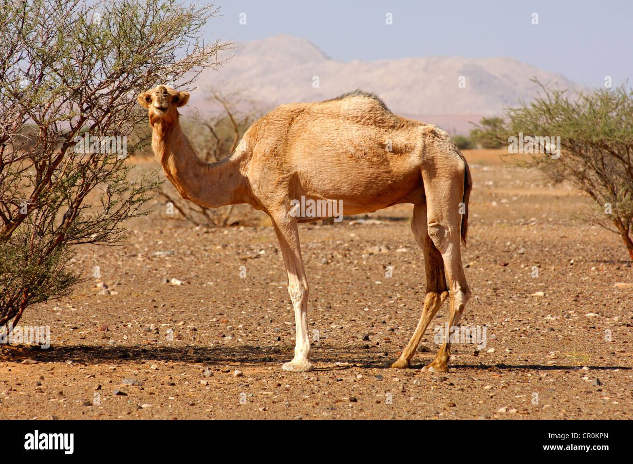 Semi Wild Dromedary Camelus Dromedarius Its Natural Habitat Cr Alamy