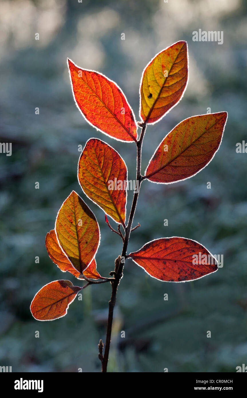Red Honeysuckle (Lonicera xylosteum), branch with a light covering of hoarfrost, Untergroeningen, Baden-Wuerttemberg - Stock Image