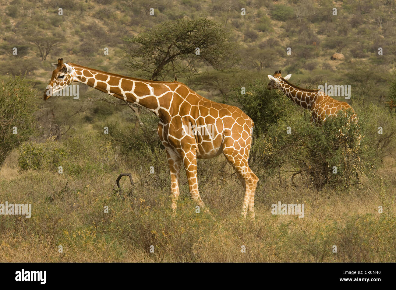 Two reticulated giraffes by acacias - Stock Image