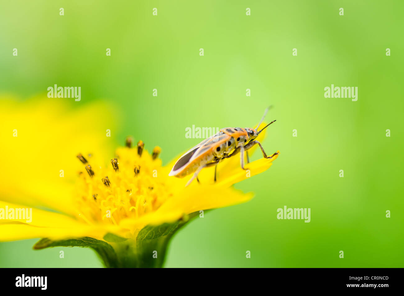 red bug or Hemiptera in the nature - Stock Image