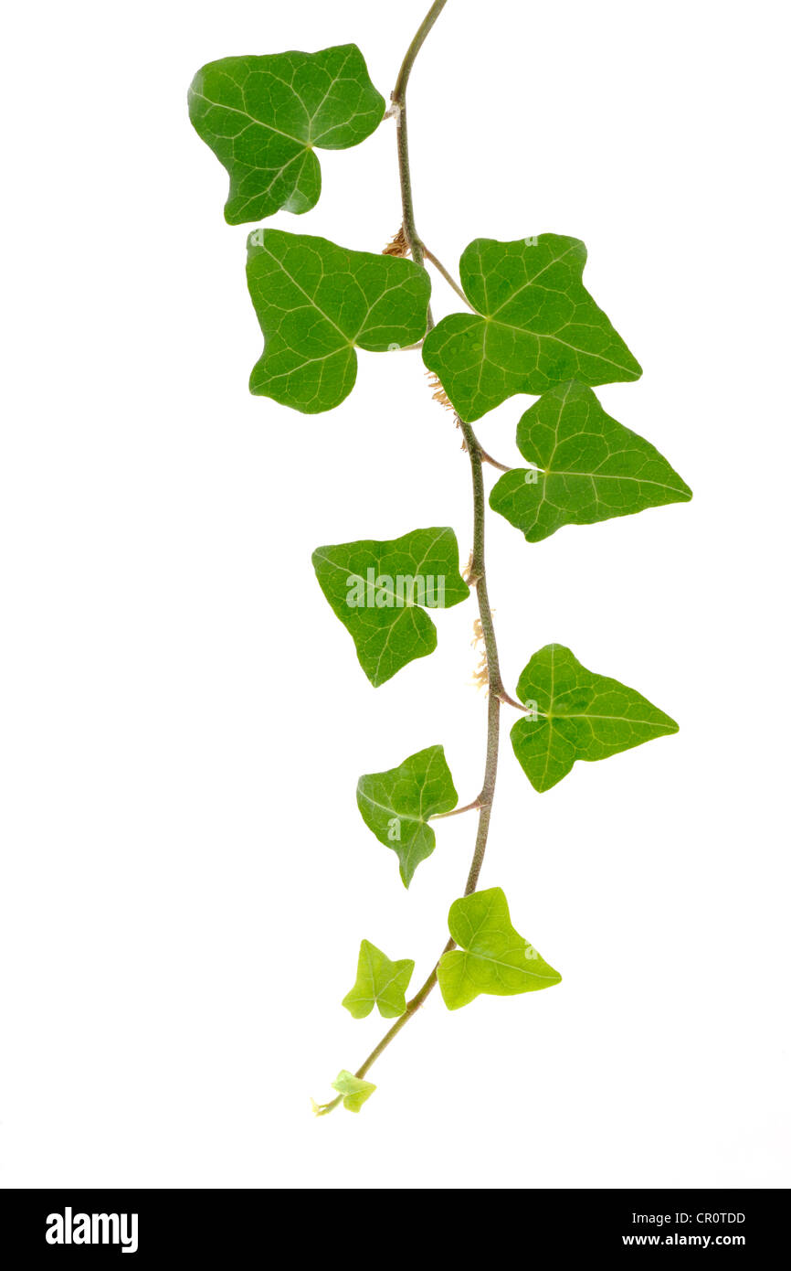 Ivy (Hedera helix L.) - Stock Image