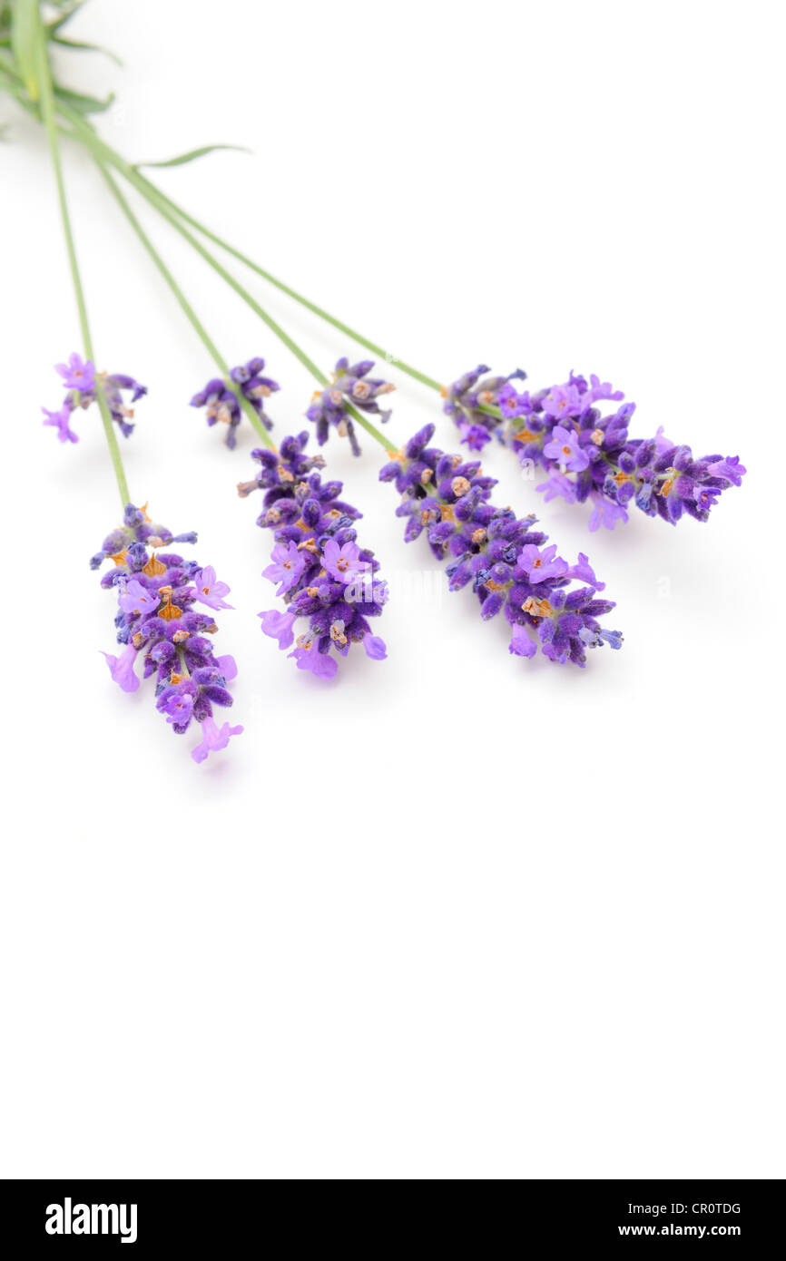Lavender (Lavandula angustifolia) - Stock Image