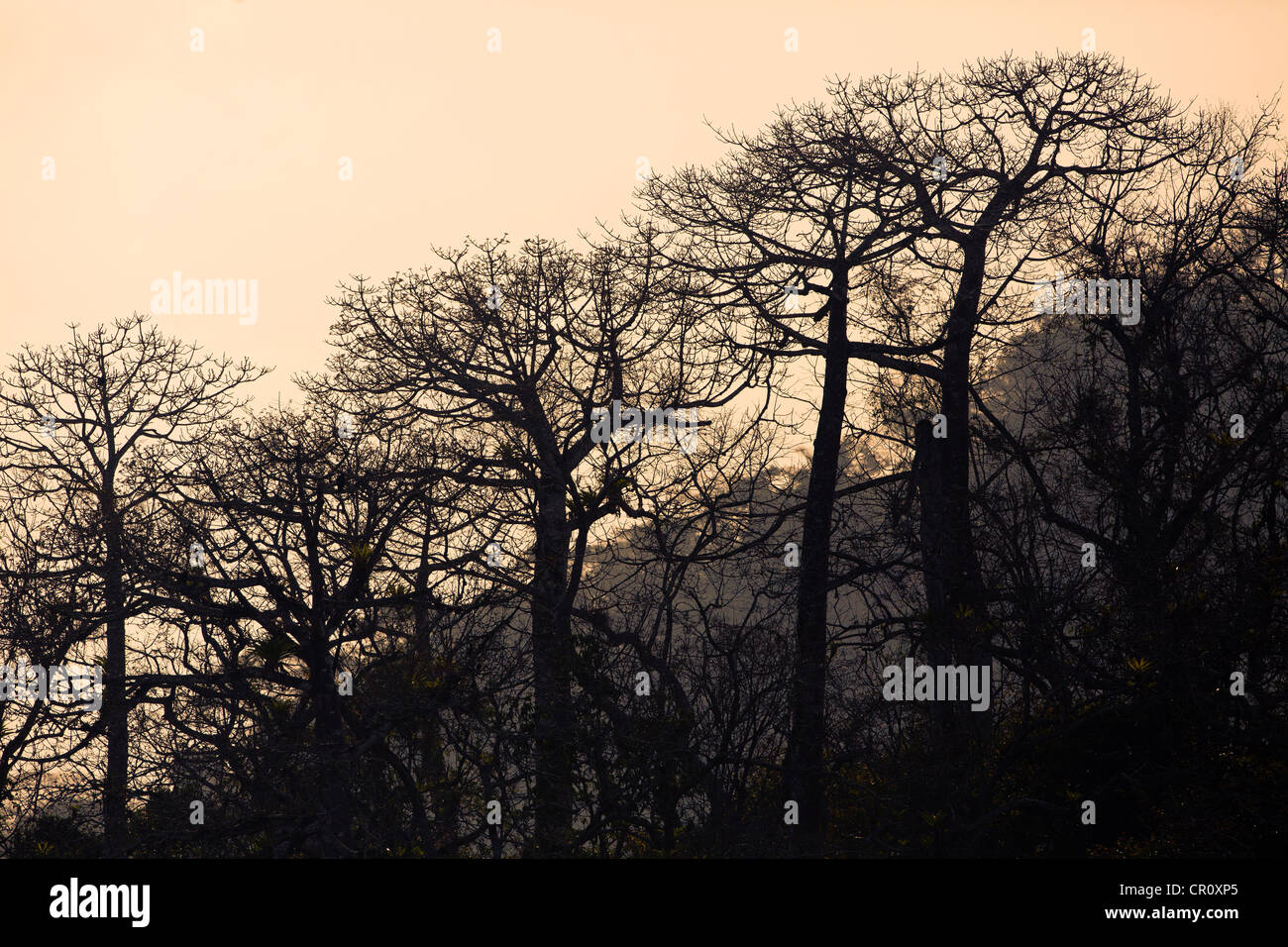 Large Cuipo trees in the dry season, in the rainforest beside Gatun lake, (Lago Gatun), Republic of Panama. - Stock Image