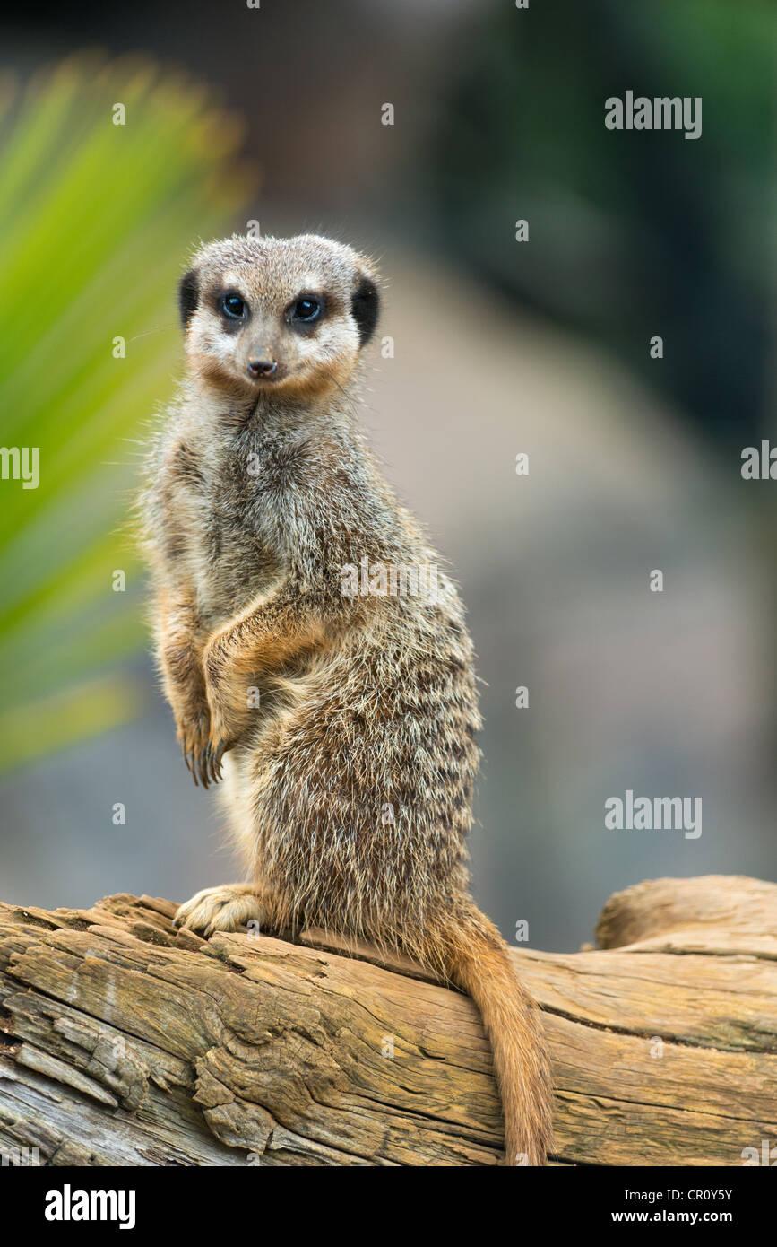 MEERKATS or SURICATES Suricata suricatta - Stock Image