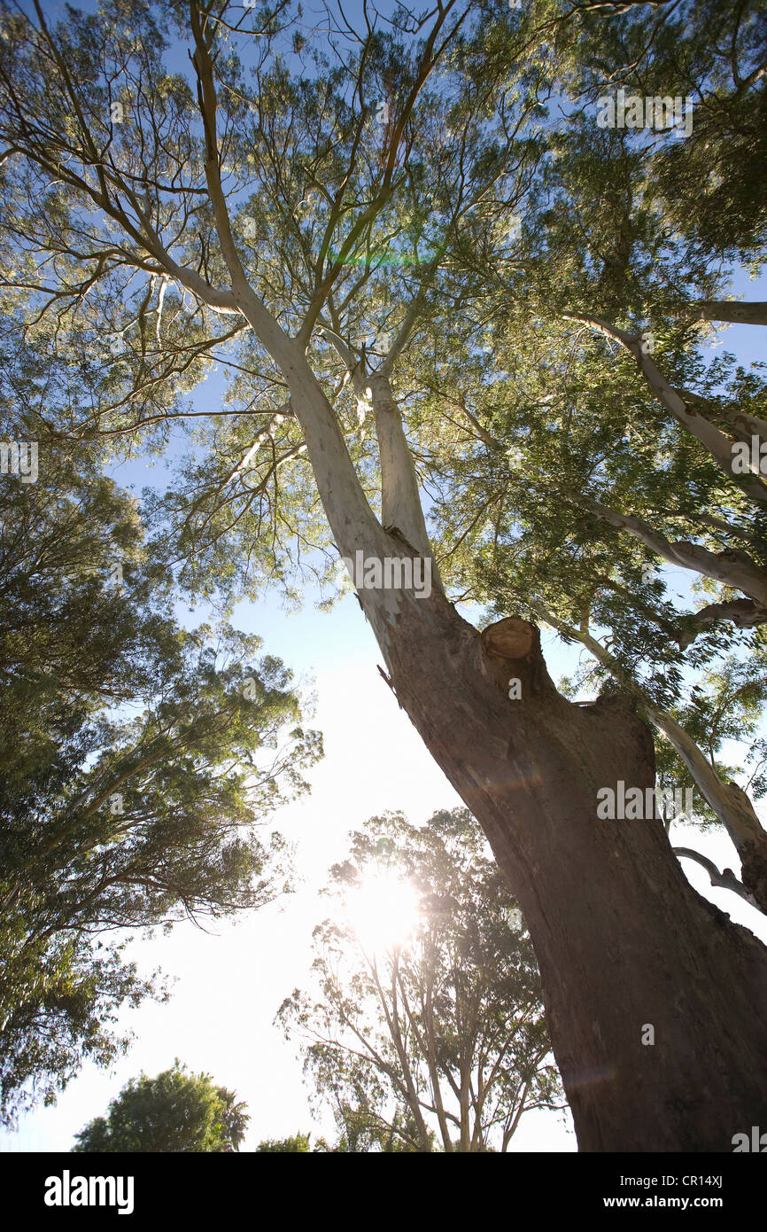 Low angle view of tree in forest - Stock Image