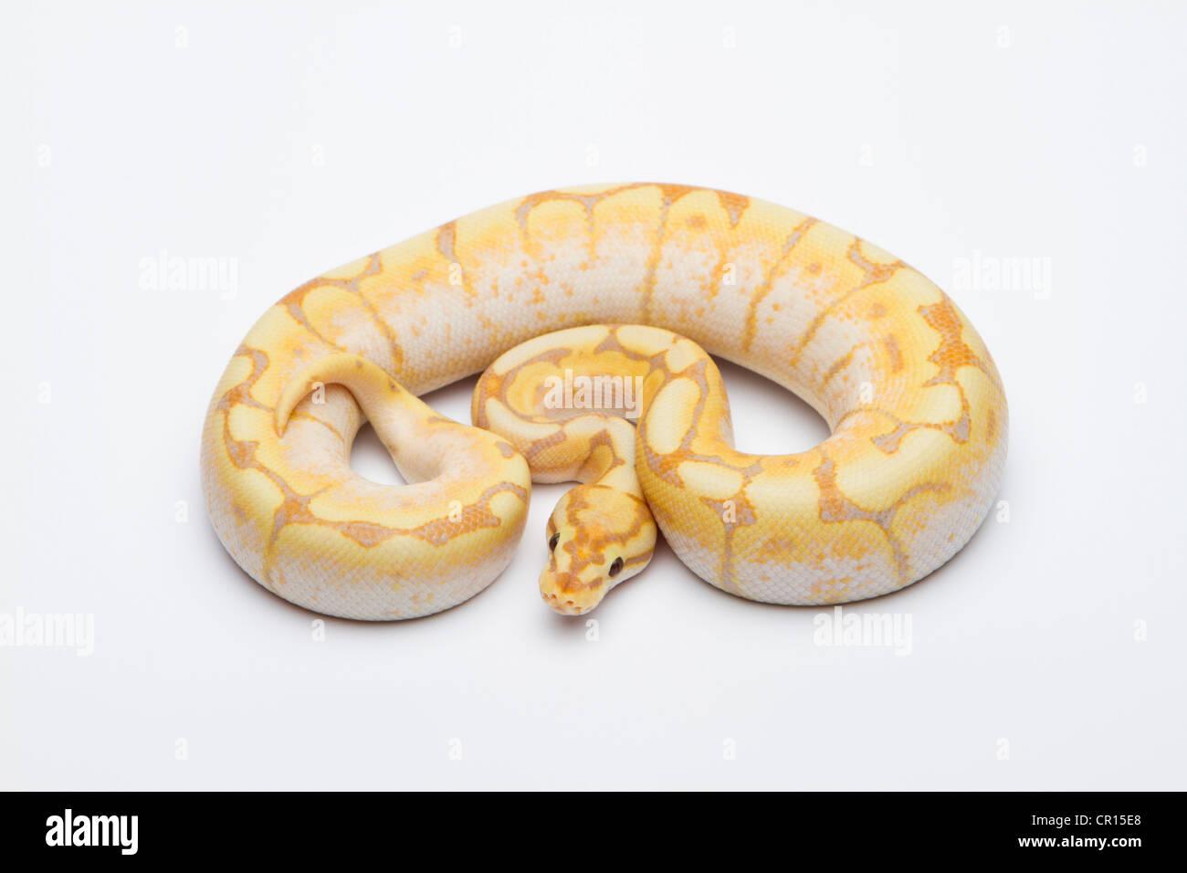 Spider CG Ball Python or Royal Python (Python regius), male - Stock Image