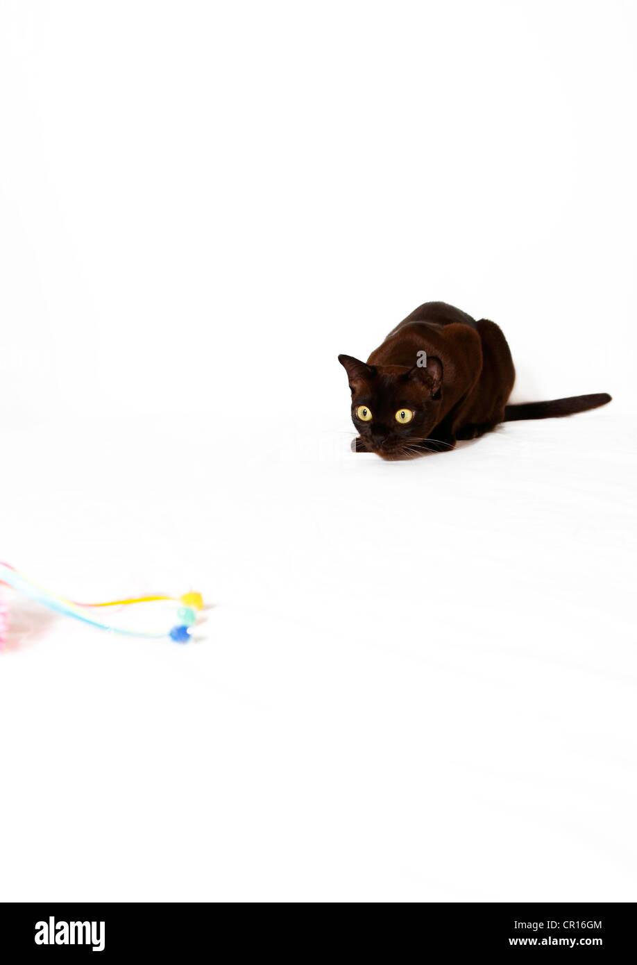Burmese cat preying on cat toy - Stock Image