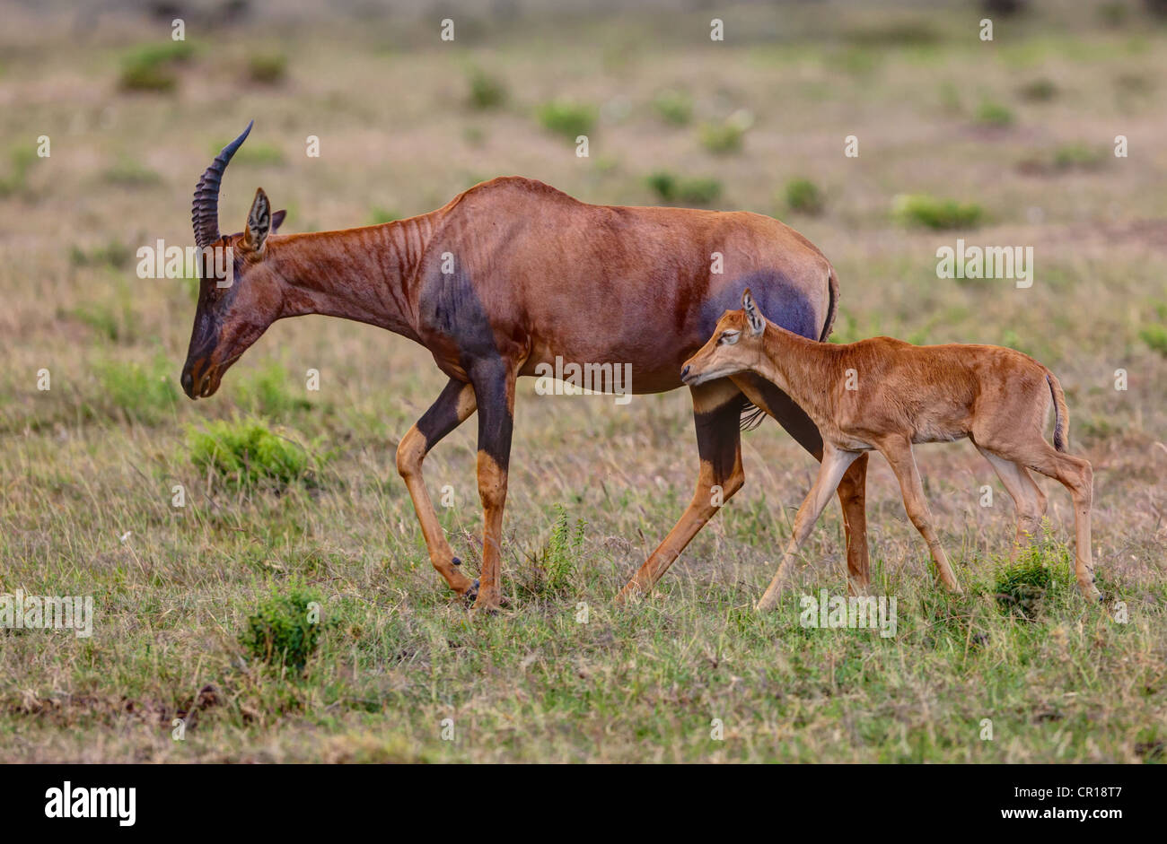 Topi Antelope (Damaliscus lunatus) with young, Masai Mara National Reserve, Kenya, East Africa, Africa, PublicGround - Stock Image