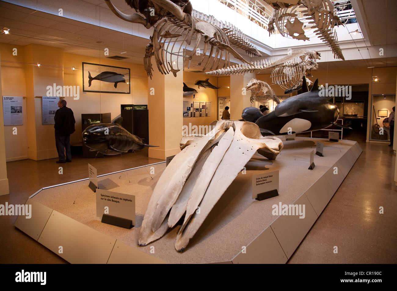 France, Pyrenees Atlantiques, Biarritz, Musee de la Mer (Maritime Museum), cetacean's skeleton - Stock Image