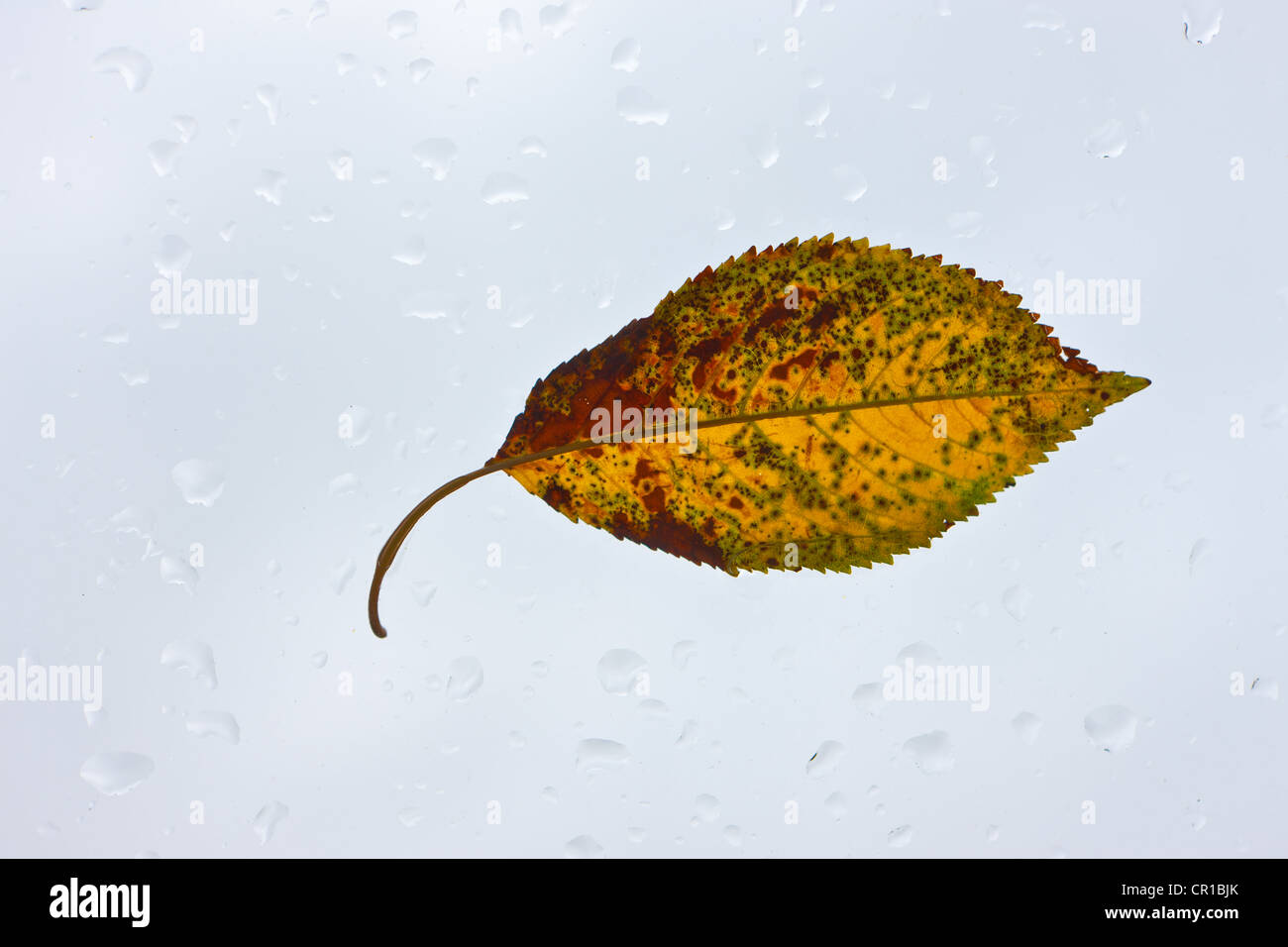 Autumn leaf on a glass pane with rain drops - Stock Image
