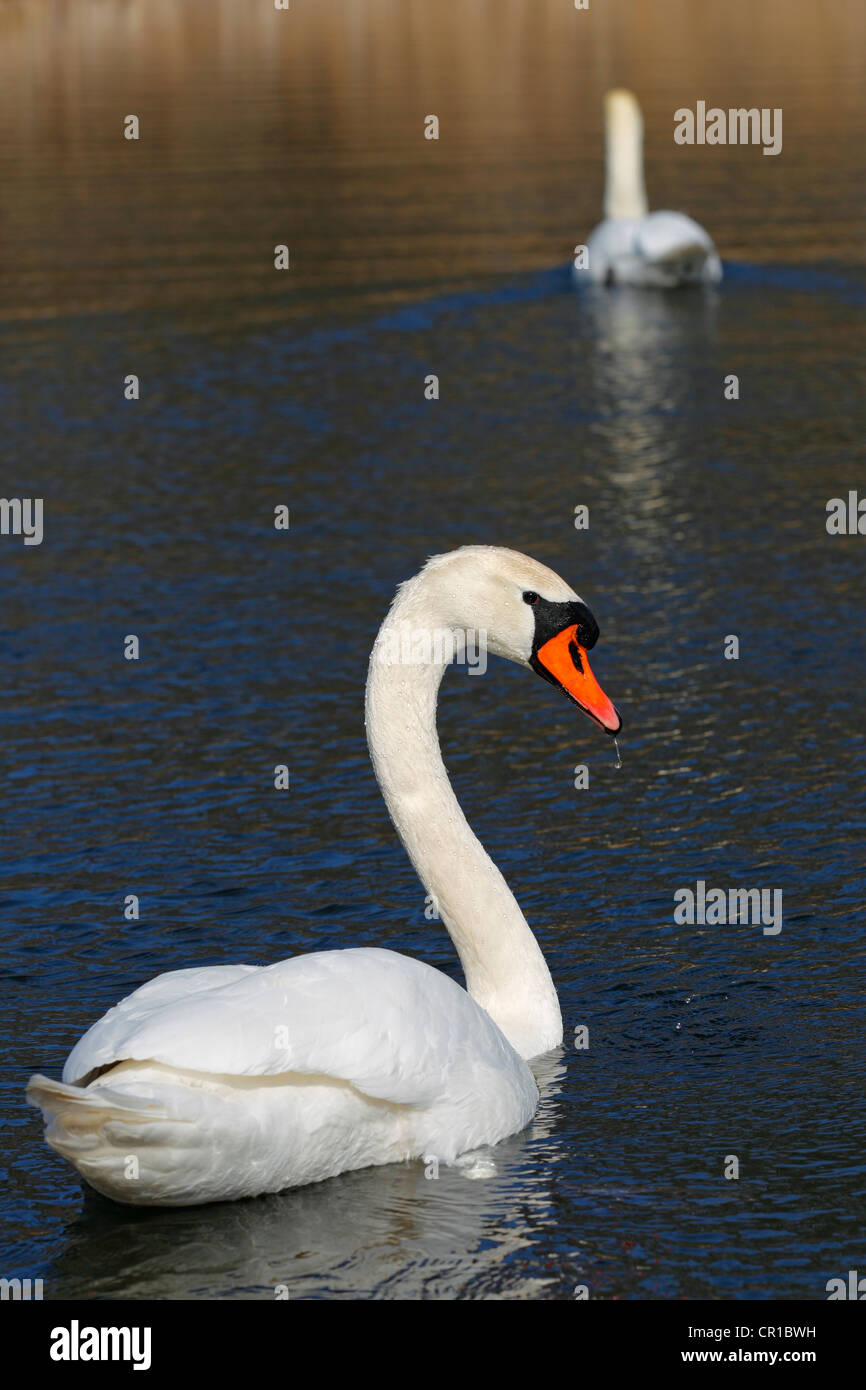 Pair of Mute Swans (Cygnus olor) on a lake Stock Photo