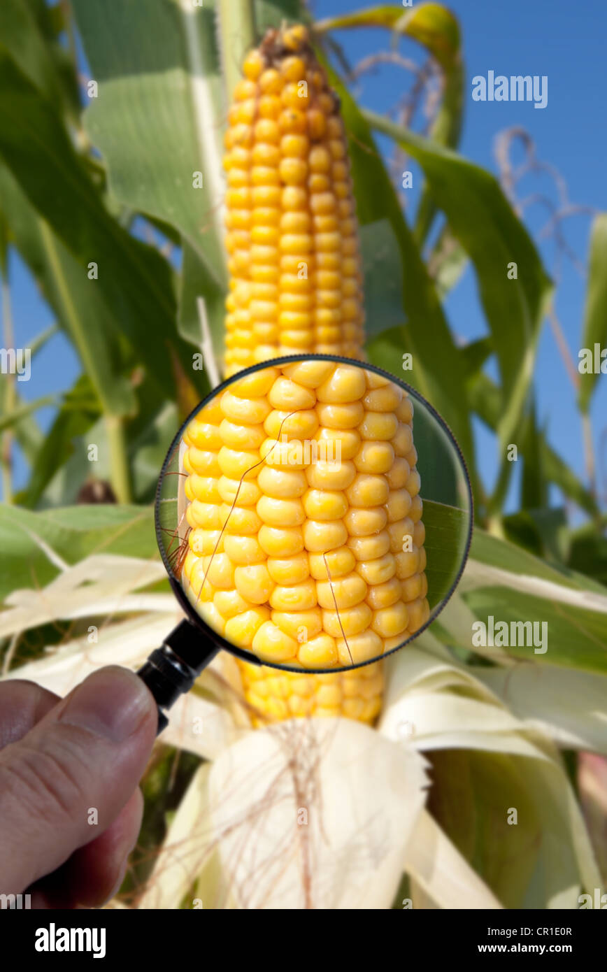 Genetically modified maize or corn is examined under a magnifying glass - Stock Image