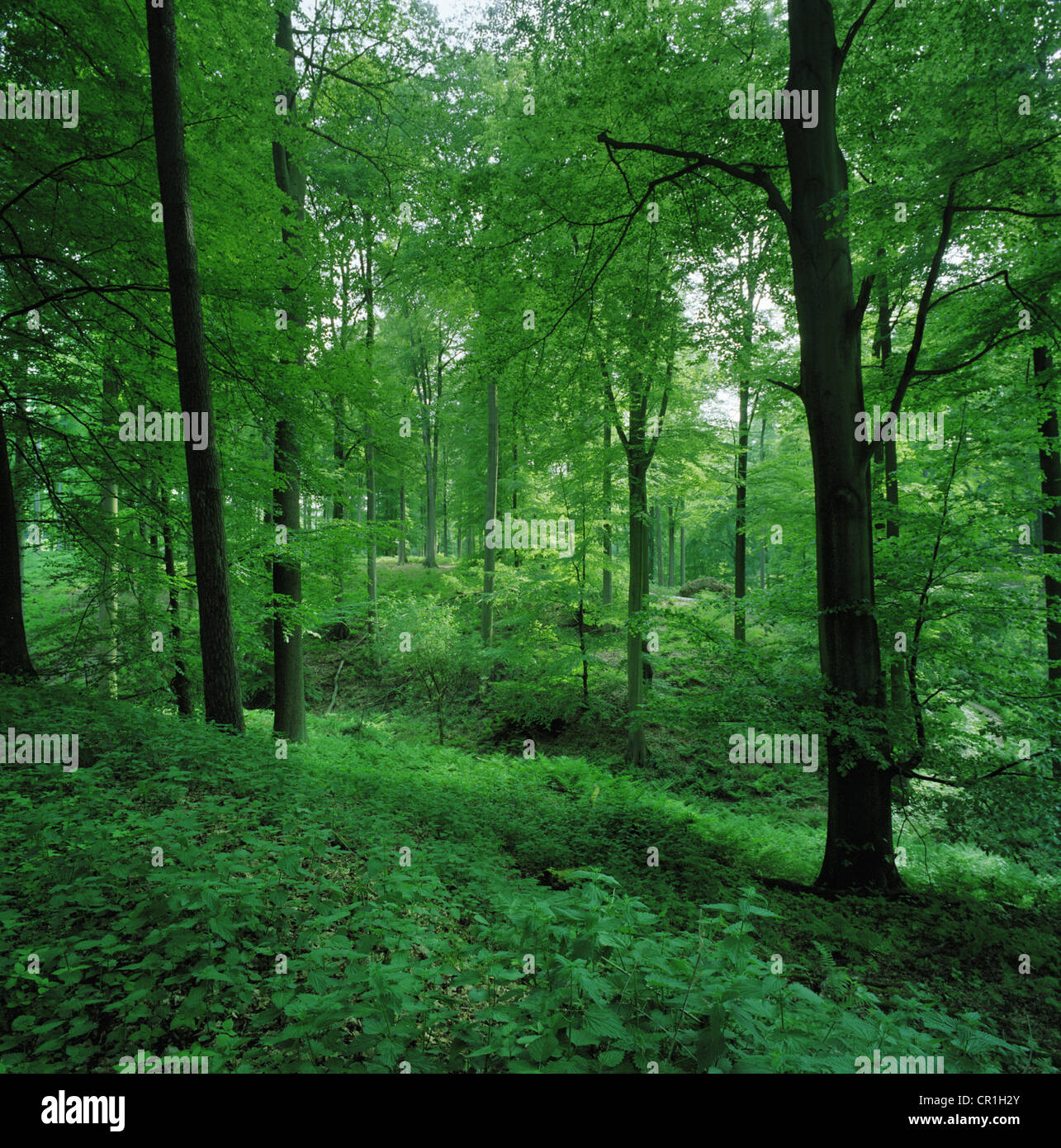 Leafy undergrowth in forest - Stock Image