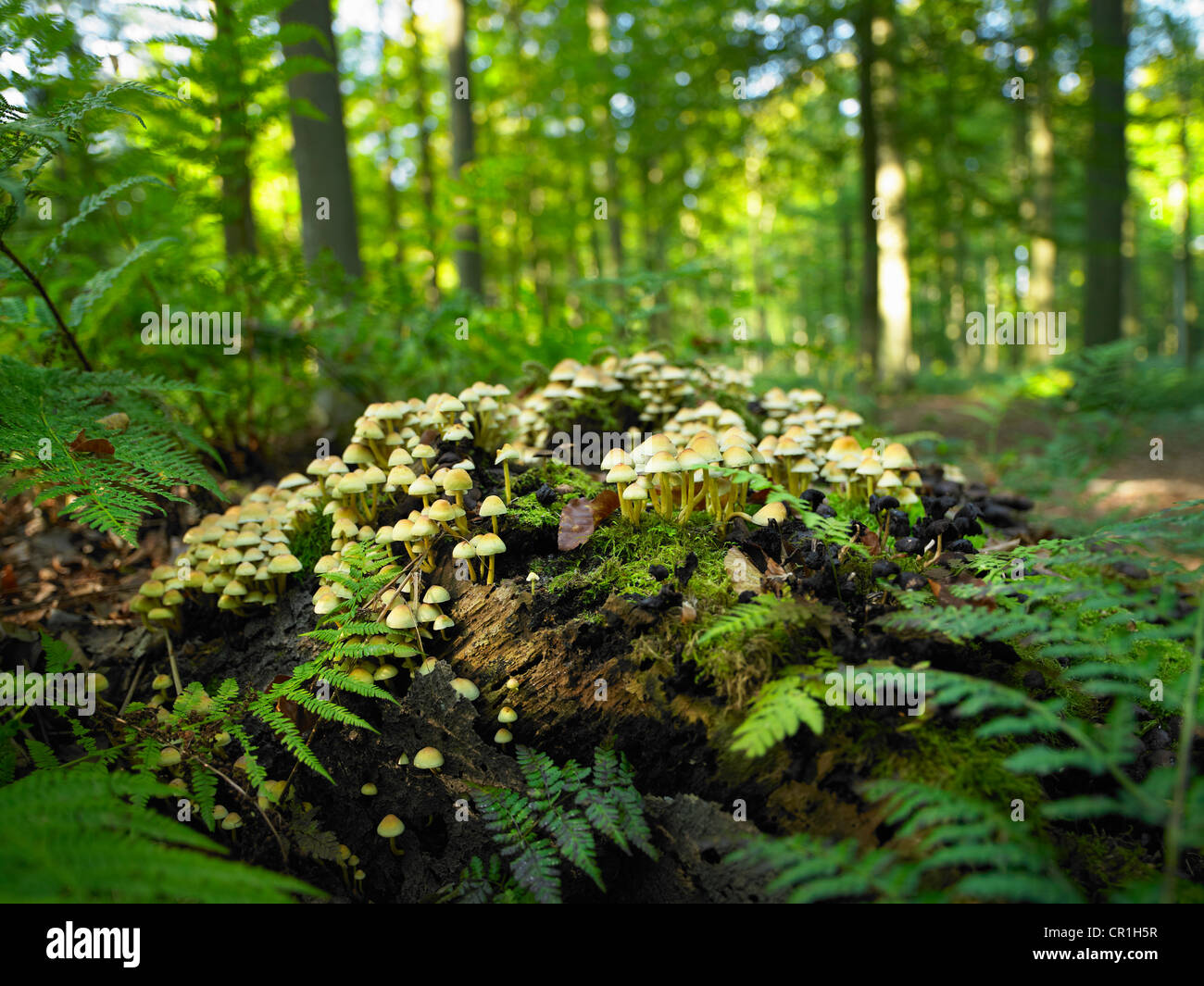 Mushrooms growing on log in forest - Stock Image