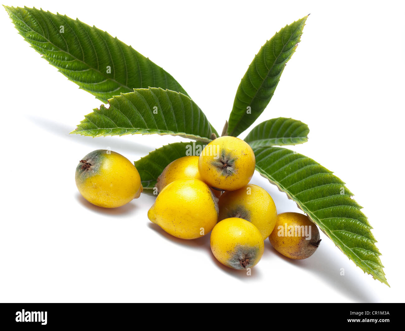 Loquat, Eriobotrya Japonica, is a fruit tree in the family Rosaceae, - Stock Image