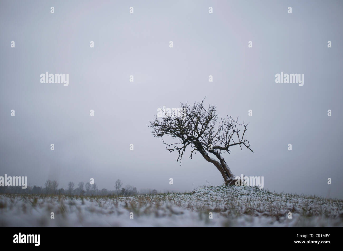 Bare tree growing in snowy landscape - Stock Image