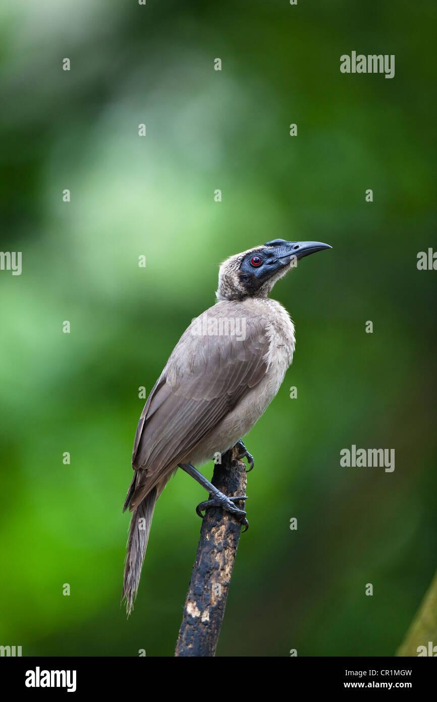 Helmeted Friarbird (Philemon buceroides), Queensland, Australia - Stock Image