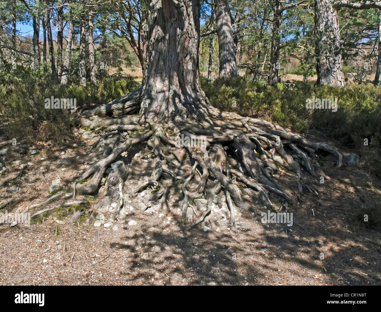 Scots pine tree with complicated root arrangement above ground at Loch an Eilein in Rothiemurchus by Aviemore Highland - Stock Image