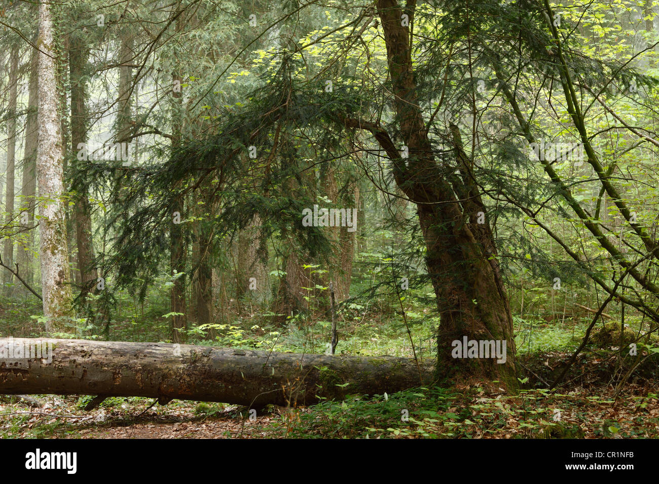 European Yew (Taxus baccata), Paterzell Yew Forest, Paterzell, Upper Bavaria, Bavaria, Germany, Europe - Stock Image