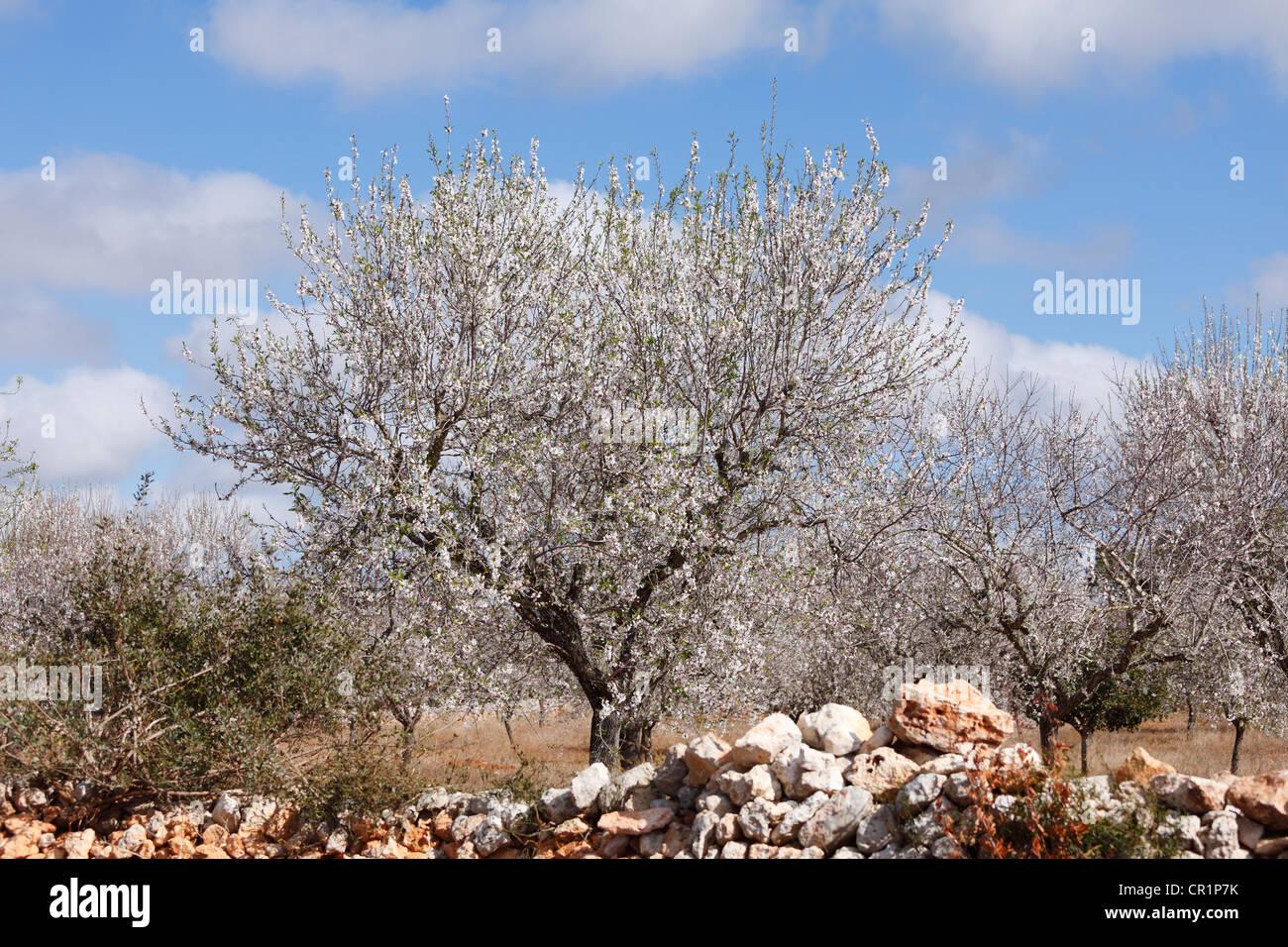 Amara Amygdalus Almonds tree seeds Prunus Dulcis 5 Graines d/'Amandier var