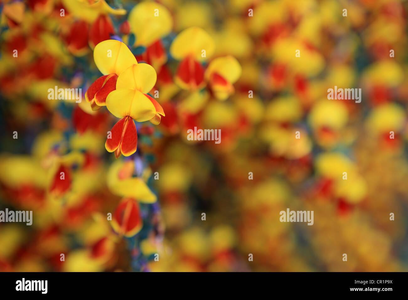 Yellow Flowers In Scotland Stock Photos Yellow Flowers In Scotland