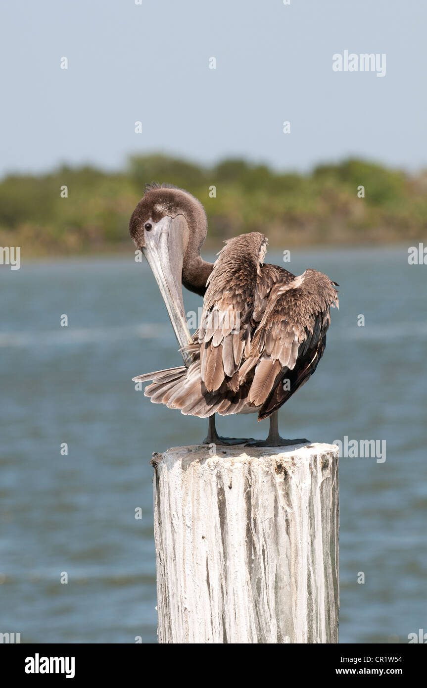 Brown Pelican pelecanus occidentalis on the Apalachicola River northwest Florida USA Stock Photo