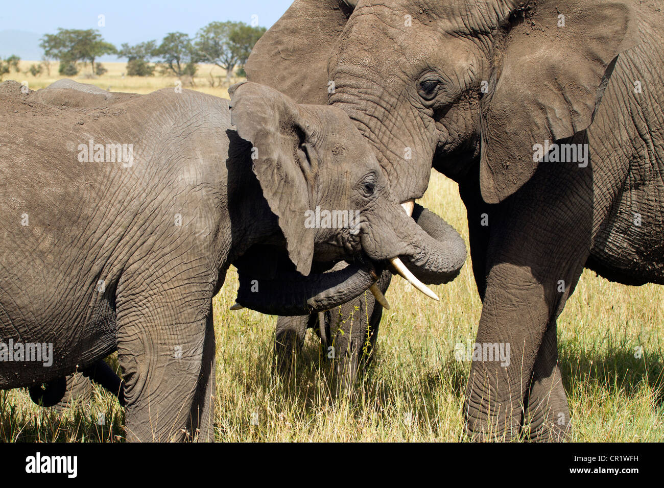 Elephants in the Serengeti in Greeting - Stock Image