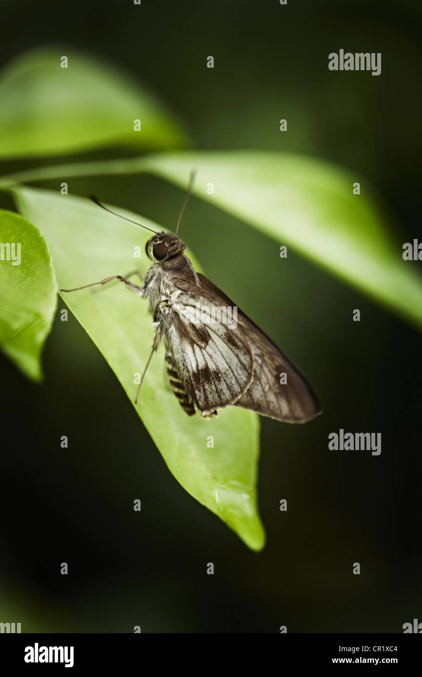 Close up of butterfly on leaf - Stock Image
