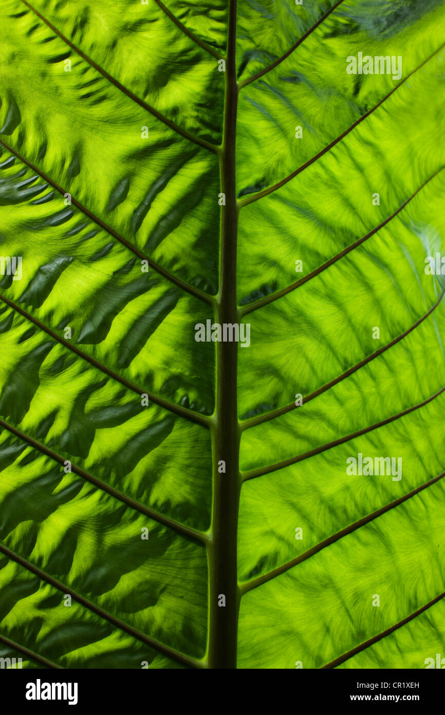 Close up of veins in leaf - Stock Image