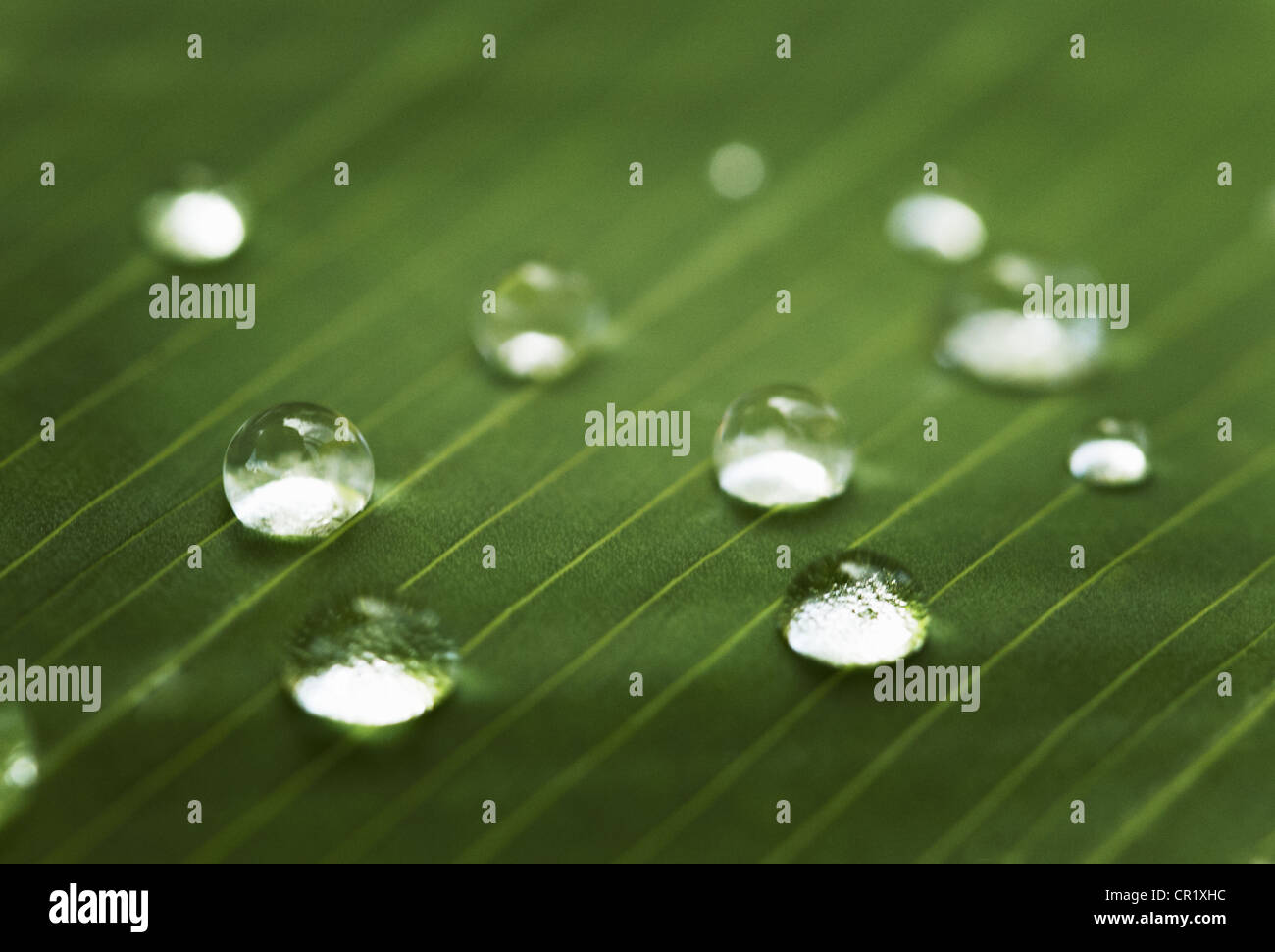 Close up of water droplets on leaf - Stock Image