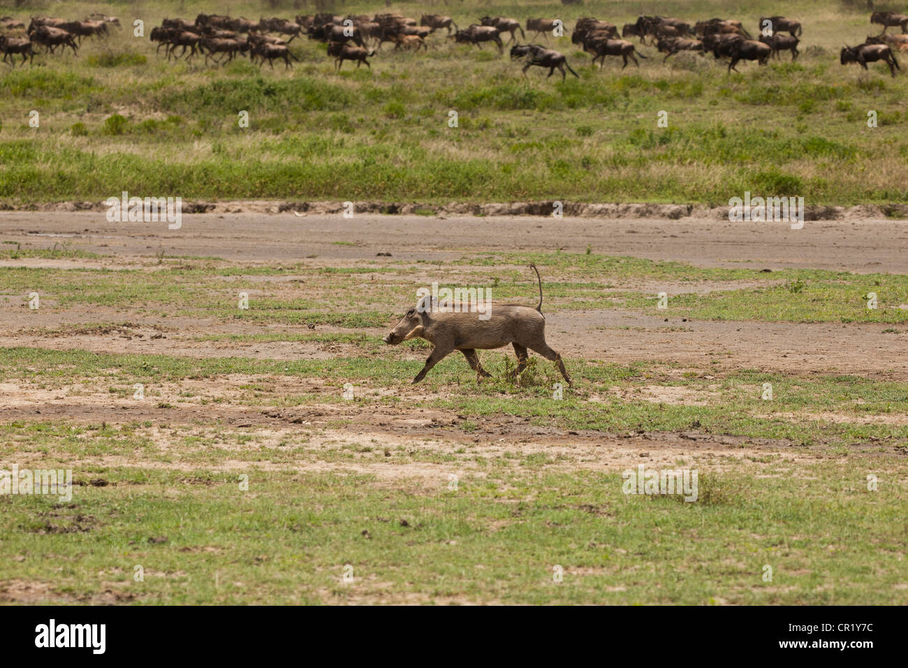 Warthog and Wildebeest Running in the Great Migration - Stock Image