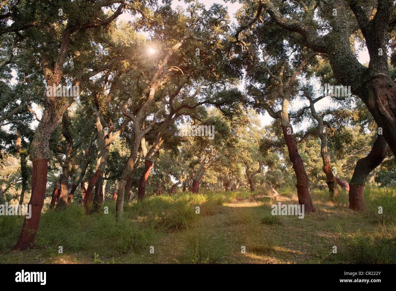 Stripped cork trees in rural forest Stock Photo