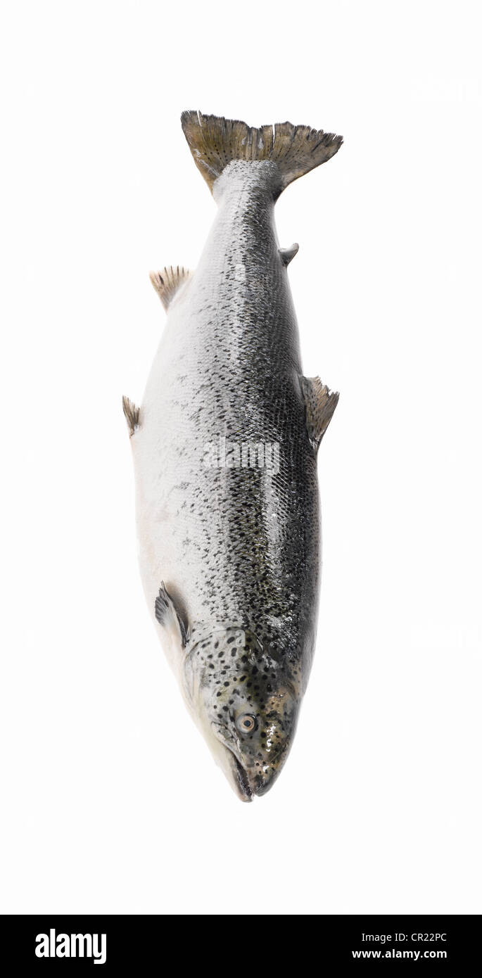 whole salmon - Stock Image