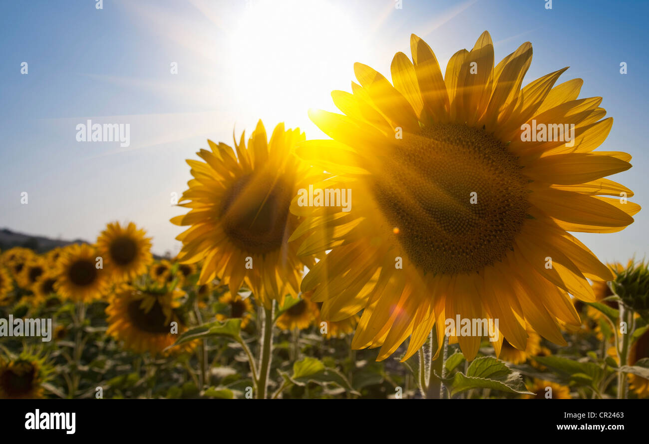 Close up of sunflowers in field - Stock Image