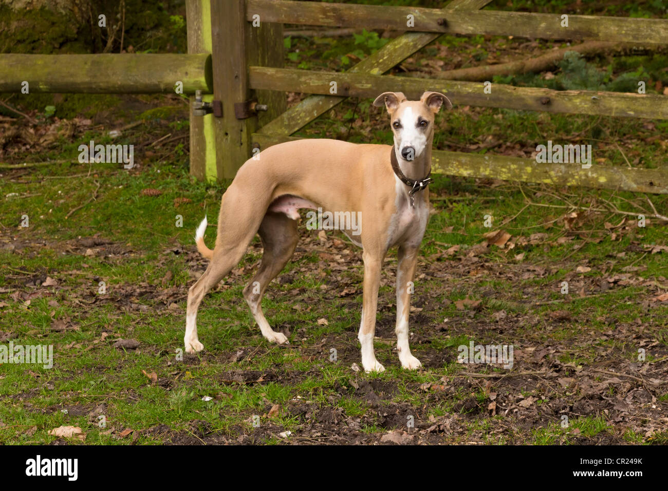 Whippet (Canis lupus familiaris) in rural scene Stock Photo