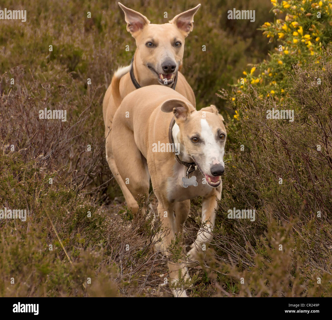 5 year old Whippets named Quinn (front) and Jazz (back) running towards photographer amongst heather and gorse in - Stock Image