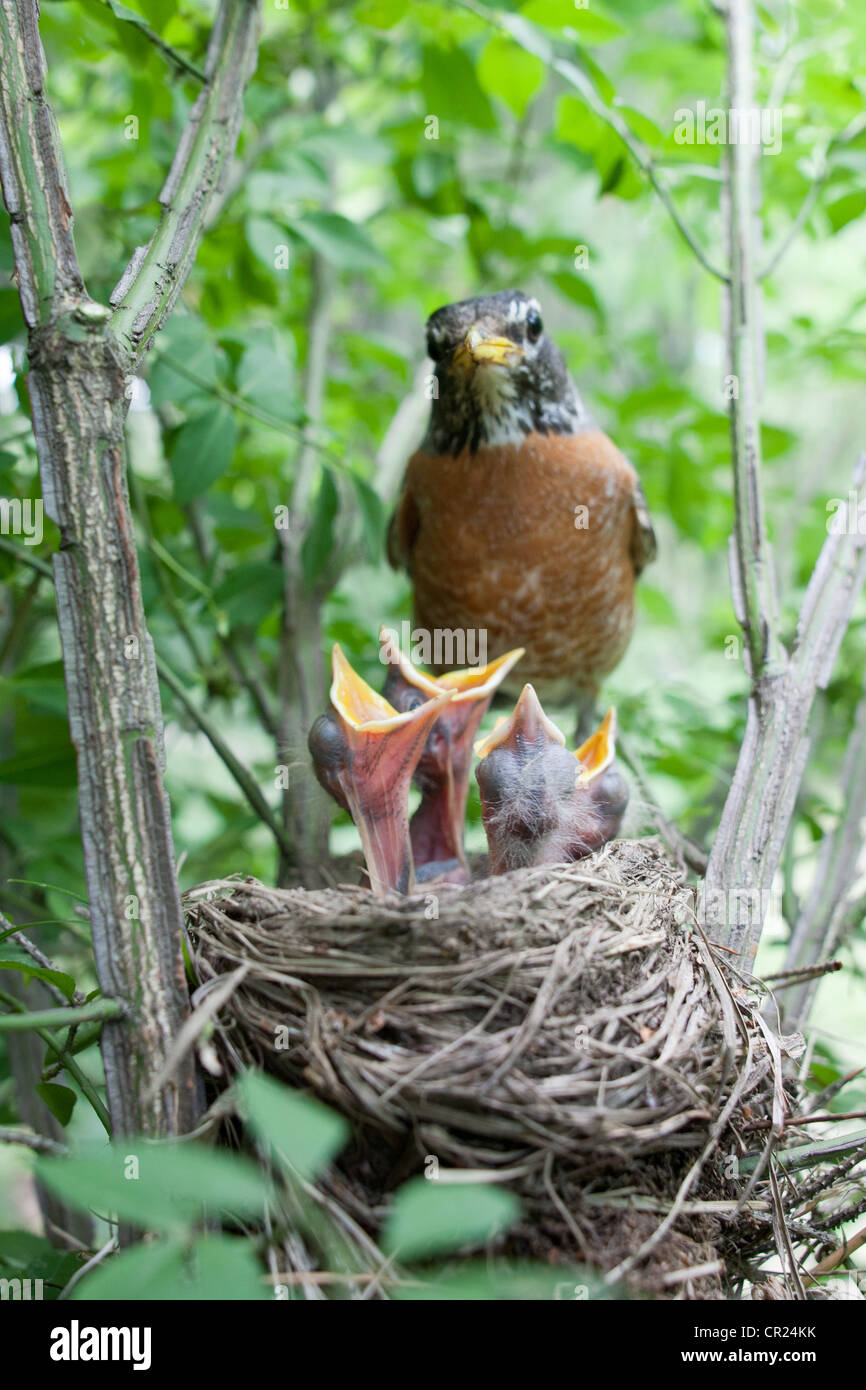 American Robin perched at Nest with Fledglings - Vertical - Stock Image