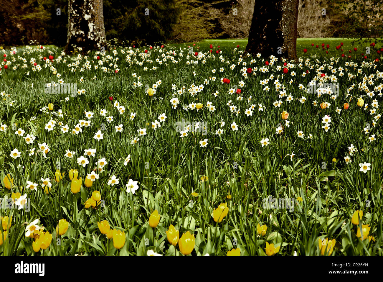 a field of flowers in spring with daffodils and tulips Stock Photo