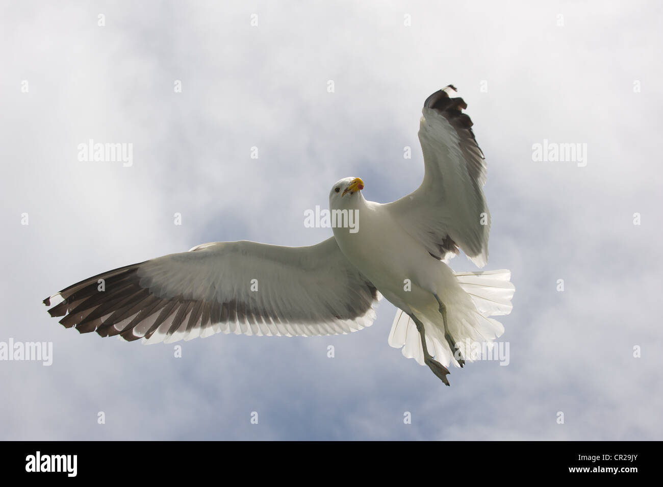 Sea Gull (Laridae) in flight seen from below, Walvis Bay, Namibia - Stock Image