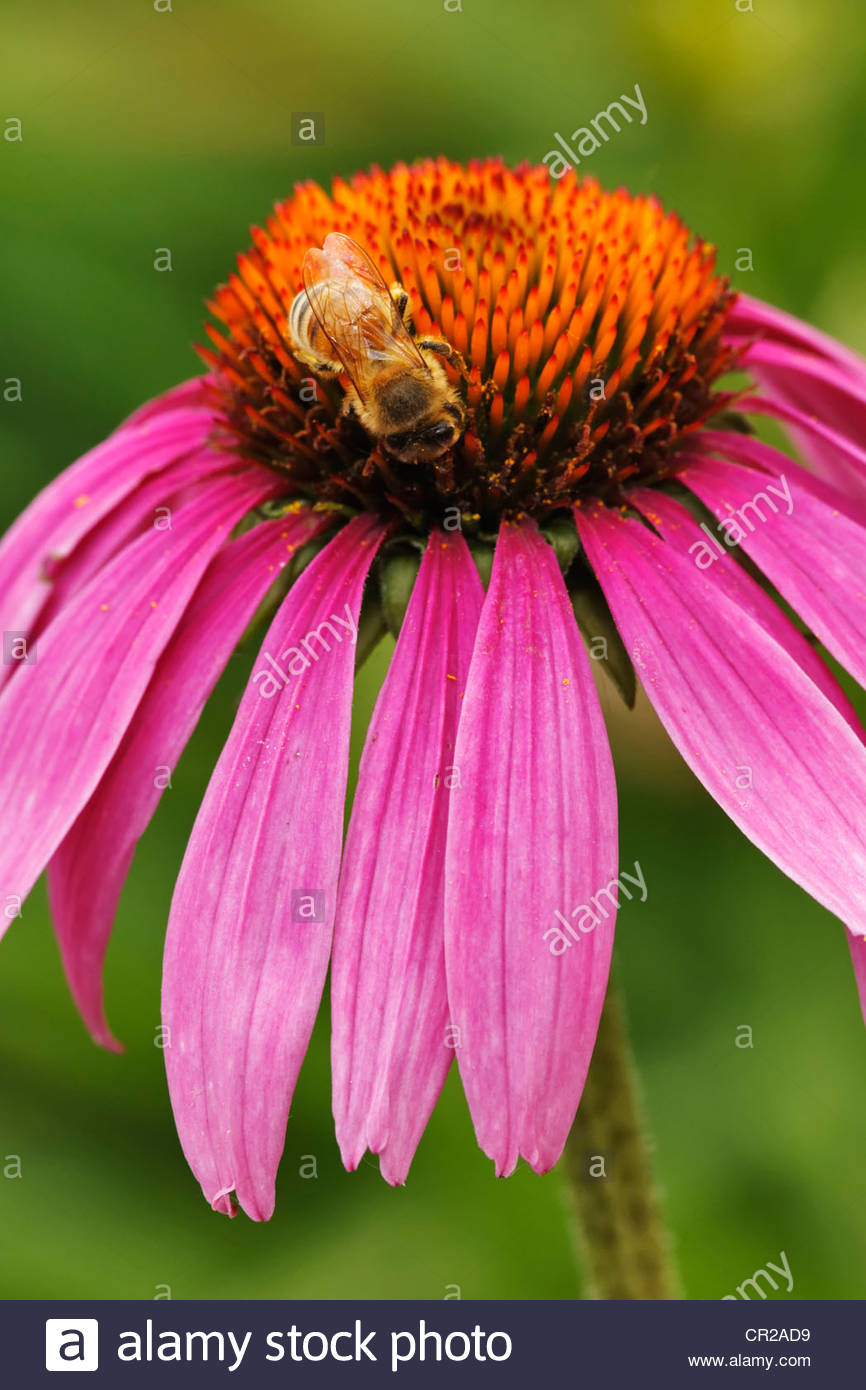 Honey Bee on Purple Cone Flower - Stock Image