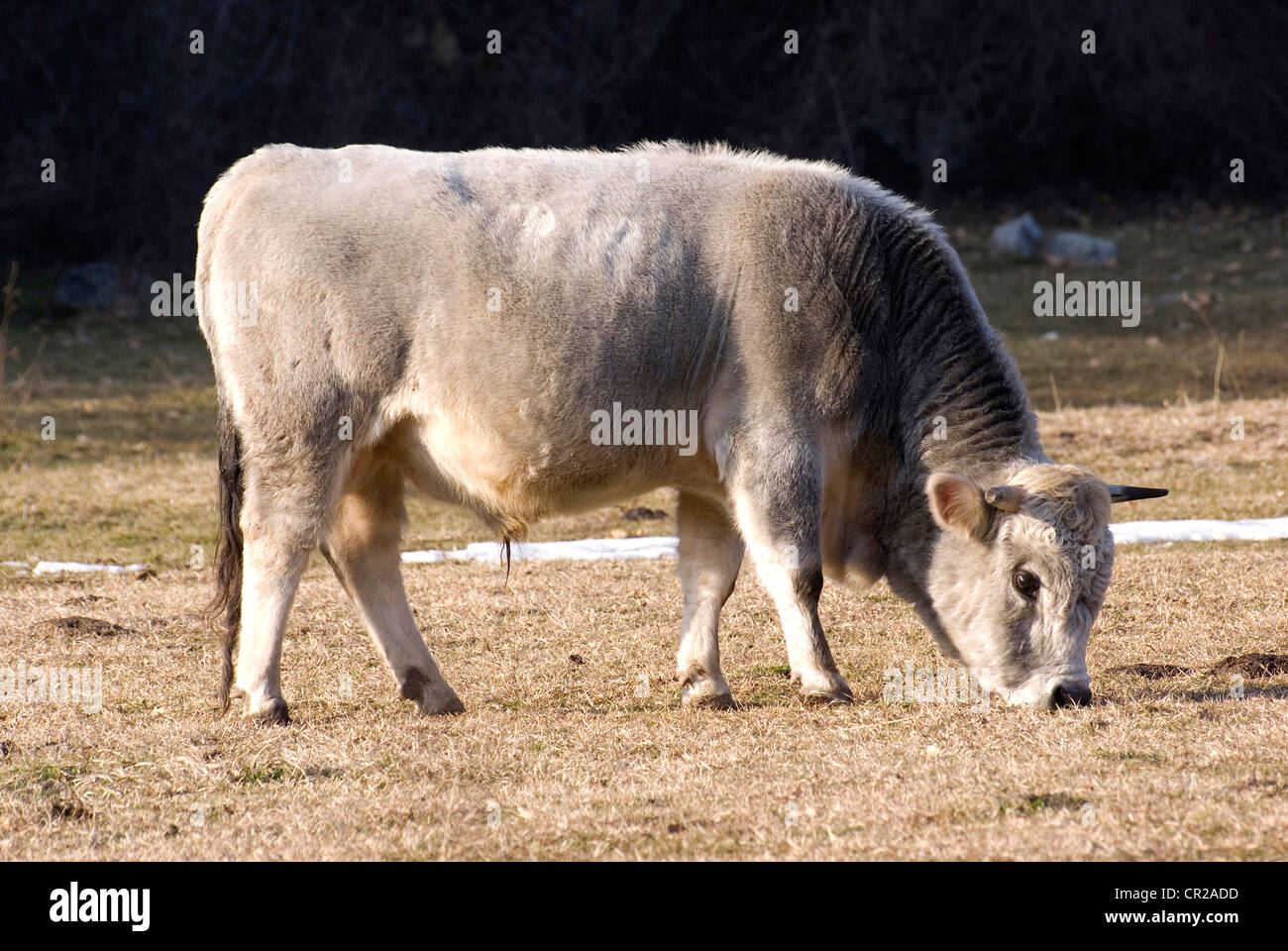 Bull - Stock Image