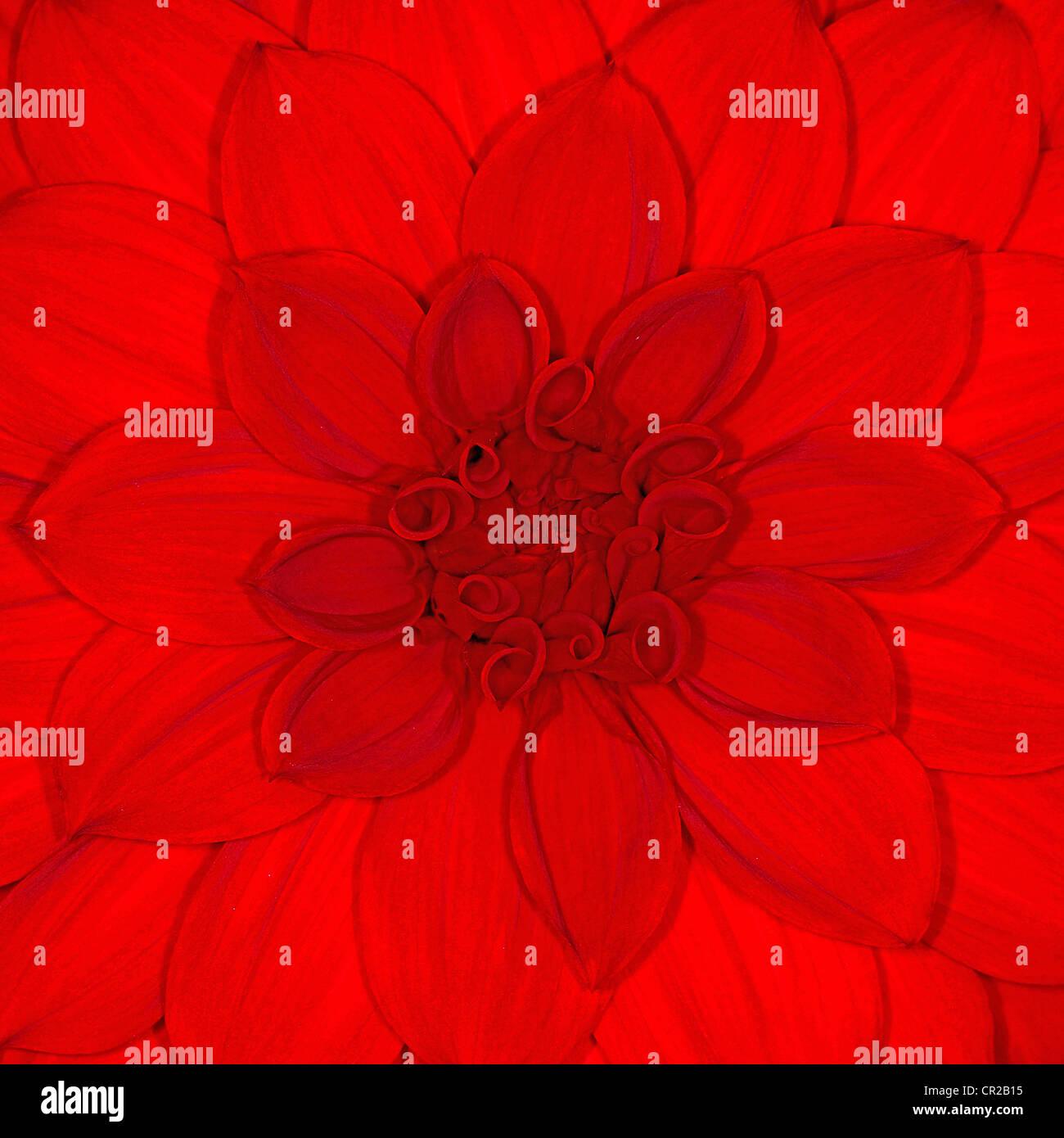 Red Dahlia flower close up - Stock Image